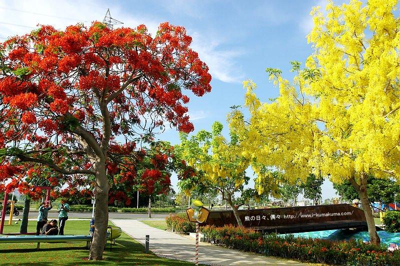 幾米公園黃鈴串鳳凰花